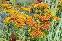 Тысячелистник красный (лат. Achillea), фото № 26778062, снято 20 июля 2017 г. (c) Елена Коромыслова / Фотобанк Лори
