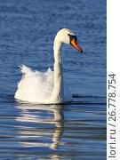 Купить «Лебедь шипун (Cygnus olor). Птица летним днем плавает на озере. Ямало-Ненецкий автономный округ», фото № 26778754, снято 22 августа 2017 г. (c) Григорий Писоцкий / Фотобанк Лори