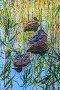 Три утки в прибрежных камышах на озере, фото № 26779022, снято 16 августа 2017 г. (c) Владимир Сергеев / Фотобанк Лори