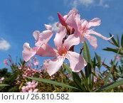 Купить «Цветущий олеандр (лат. Nerium oleander) с нежными розовыми цветками на фоне голубого неба», эксклюзивное фото № 26810582, снято 2 августа 2017 г. (c) lana1501 / Фотобанк Лори