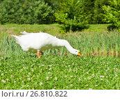 Купить «Белый домашний гусь щиплет траву», фото № 26810822, снято 6 августа 2017 г. (c) E. O. / Фотобанк Лори