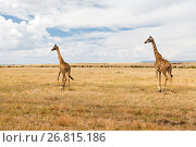 Купить «giraffes in savannah at africa», фото № 26815186, снято 19 февраля 2017 г. (c) Syda Productions / Фотобанк Лори