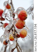 Купить «Обледеневшие ветки яблони с яблоками после ледяного дождя», фото № 26817194, снято 13 ноября 2016 г. (c) Елена Коромыслова / Фотобанк Лори