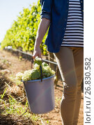 Купить «Mid section of female vintner holding harvested grapes in bucket», фото № 26830582, снято 31 января 2017 г. (c) Wavebreak Media / Фотобанк Лори