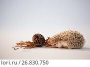 Купить «Porcupine with pine cone and autumn leaves on white background», фото № 26830750, снято 11 апреля 2017 г. (c) Wavebreak Media / Фотобанк Лори