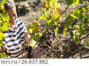 Купить «Female vintner examining grapes in vineyard», фото № 26837882, снято 31 января 2017 г. (c) Wavebreak Media / Фотобанк Лори