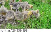 Купить «Goslings tweak the grass in yard», видеоролик № 26839898, снято 12 июля 2017 г. (c) Володина Ольга / Фотобанк Лори