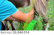 Купить «woman milking a goat in the open air. Russia», видеоролик № 26844014, снято 12 июля 2017 г. (c) Володина Ольга / Фотобанк Лори