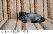 Купить «three-month-old crossbred with Scottish breed kitten lies on couch», видеоролик № 26844018, снято 3 июля 2017 г. (c) Володина Ольга / Фотобанк Лори