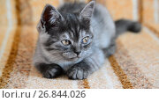 Купить «three-month-old crossbred with Scottish breed kitten lies on couch», видеоролик № 26844026, снято 3 июля 2017 г. (c) Володина Ольга / Фотобанк Лори