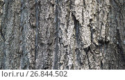 Купить «Texture of bark. Tree or poplar in park. Background of tree bark», видеоролик № 26844502, снято 28 августа 2017 г. (c) Happy Letters / Фотобанк Лори