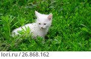 Купить «White kitten shivering from cold in grass», видеоролик № 26868162, снято 9 июня 2017 г. (c) Володина Ольга / Фотобанк Лори