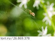 Купить «Лесной паук сидит на паутине», эксклюзивное фото № 26869378, снято 16 августа 2017 г. (c) Игорь Низов / Фотобанк Лори