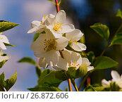 Купить «Яблоневый цвет», фото № 26872606, снято 25 июня 2007 г. (c) Игорь Камаев / Фотобанк Лори
