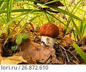 Купить «Подосиновик в засаде», фото № 26872610, снято 23 сентября 2007 г. (c) Игорь Камаев / Фотобанк Лори
