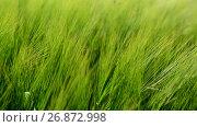 Купить «Young green rye in wind close up», видеоролик № 26872998, снято 2 июля 2017 г. (c) Володина Ольга / Фотобанк Лори