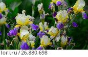 Купить «Yellow and blue iris on flower bed closeup», видеоролик № 26880698, снято 8 июня 2017 г. (c) Володина Ольга / Фотобанк Лори