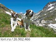Купить «Switzerland, Valais, Col du Grand-Saint-Bernard, Barry dogs», фото № 26902466, снято 20 февраля 2018 г. (c) age Fotostock / Фотобанк Лори