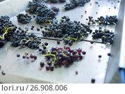 Купить «grape bunches on conveyer», фото № 26908006, снято 21 сентября 2016 г. (c) Яков Филимонов / Фотобанк Лори