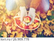 Купить «woman with basket of apples at autumn garden», фото № 26909778, снято 12 октября 2016 г. (c) Syda Productions / Фотобанк Лори