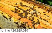 Купить «Honey bees on wax combs, outdoors», видеоролик № 26929010, снято 7 августа 2017 г. (c) Володина Ольга / Фотобанк Лори