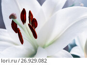 Купить «White lily flower, closeup view of lily. Shallow DOF. White lile flower nature background, pastel processing», фото № 26929082, снято 3 сентября 2017 г. (c) Зезелина Марина / Фотобанк Лори