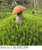 Купить «Edible mushroom (Leccinum Aurantiacum) with orange caps», фото № 26930290, снято 10 сентября 2017 г. (c) Алексей Кокоулин / Фотобанк Лори