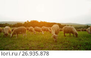 Купить «Flock of sheep grazing in a pasture», видеоролик № 26935878, снято 6 сентября 2017 г. (c) BestPhotoStudio / Фотобанк Лори