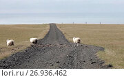 Купить «Group of sheep in field in Iceland, road passes over the horizon», видеоролик № 26936462, снято 14 сентября 2017 г. (c) Юлия Колтырина / Фотобанк Лори
