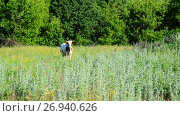 One motley cow grazing in meadow, Russia. Стоковое видео, видеограф Володина Ольга / Фотобанк Лори