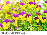 Купить «Summer flower background. Field of pink, yellow and blue summer pansies.», фото № 26950986, снято 1 июля 2016 г. (c) Зезелина Марина / Фотобанк Лори