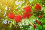 Осенняя природа. Красная осенняя бузина на ветке, фото № 26954158, снято 15 июля 2016 г. (c) Зезелина Марина / Фотобанк Лори