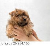 Купить «Puppy Norfolk Terrier in female hands on a light background», фото № 26954166, снято 22 мая 2015 г. (c) Юлия Бабкина / Фотобанк Лори
