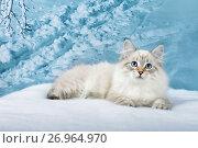 Siberian kitten in snowy forest. Стоковое фото, фотограф ElenArt / Фотобанк Лори