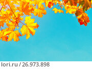 Купить «Autumn leaves background with free space for text. Colorful orange autumn maple leaves against blue sky», фото № 26973898, снято 20 ноября 2017 г. (c) Зезелина Марина / Фотобанк Лори