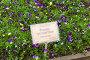 Грядка с цветущей фиалкой (viola tricolor) в Аптекарском огороде (филиал ботанического сада МГУ, Москва), фото № 27003782, снято 31 мая 2017 г. (c) Сергей Рыбин / Фотобанк Лори