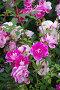 Фиолетовые розы в розарии, фото № 27004662, снято 11 июля 2017 г. (c) Natalya Sidorova / Фотобанк Лори