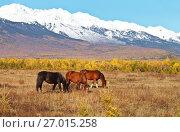 Купить «Три лошади пасутся в предгорной долине на желтом лугу в солнечный осенний день на фоне заснеженных гор», фото № 27015258, снято 27 сентября 2017 г. (c) Виктория Катьянова / Фотобанк Лори