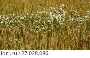 Купить «Glade of camomiles in ripe wheat field», видеоролик № 27028086, снято 15 июля 2017 г. (c) Володина Ольга / Фотобанк Лори