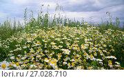 Купить «Glade with field chamomiles», видеоролик № 27028710, снято 14 июля 2017 г. (c) Володина Ольга / Фотобанк Лори