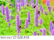 Шмели собирают пыльцу на цветах Лофант тибетский крупным планом ( Agastache rugosa, Агастахис морщинистый, корейская мята. Стоковое фото, фотограф Максим Мицун / Фотобанк Лори
