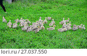 Купить «Small geese run along from poultry farmers», видеоролик № 27037550, снято 12 июля 2017 г. (c) Володина Ольга / Фотобанк Лори