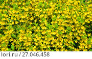 Купить «Lysimachia vulgaris swaying in the wind», видеоролик № 27046458, снято 26 июня 2017 г. (c) Володина Ольга / Фотобанк Лори