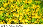 Купить «Lysimachia vulgaris swaying in the wind», видеоролик № 27046462, снято 26 июня 2017 г. (c) Володина Ольга / Фотобанк Лори
