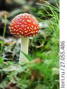 Купить «Гриб красный мухомор растёт в лесу», эксклюзивное фото № 27055486, снято 25 сентября 2017 г. (c) Игорь Низов / Фотобанк Лори
