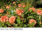 Купить «Оранжевые георгины в саду», эксклюзивное фото № 27060662, снято 8 октября 2017 г. (c) Svet / Фотобанк Лори
