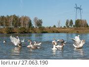 Купить «Стая светлых гусей купаются в реке», эксклюзивное фото № 27063190, снято 25 сентября 2017 г. (c) Игорь Низов / Фотобанк Лори