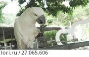 Купить «Big white parrot Cockatoo eats a banana stock footage video», видеоролик № 27065606, снято 7 сентября 2017 г. (c) Юлия Машкова / Фотобанк Лори