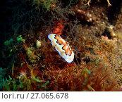 Голожаберный моллюск, остров Лусон, Анилао, Филиппины. Стоковое фото, фотограф Александр Огурцов / Фотобанк Лори