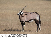RF - Gemsbok (Oryx gazella) using horn to scratch back, Kgalagadi Transfrontier Park, South Africa, June. (This image may be licensed either as rights managed or royalty free.) Стоковое фото, фотограф Ann  & Steve Toon / Nature Picture Library / Фотобанк Лори